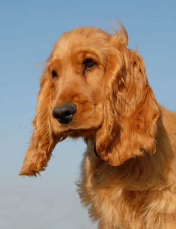 puppy purebred english cocker: cute hunting dog  Stock Photo - 1964010