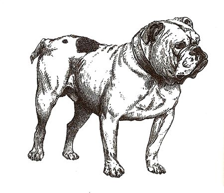 english bulldog: illustration of english bulldog in black and white  Stock Photo