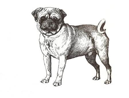 carlin: illustration of pug carlin in black and white  Stock Photo