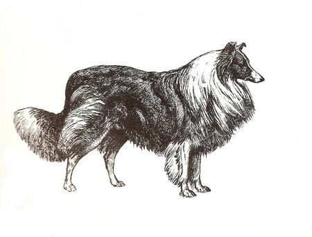 illustration of collie shepherd in black and white