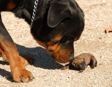 molosse: very young puppies belgian shepherd and rottweiler