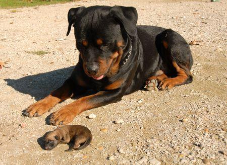agressive: very young puppies belgian shepherd and rottweiler