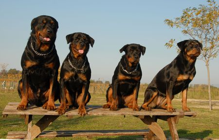 four watchind dogs:  of purebred rottweiler  Stock Photo