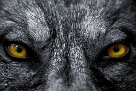beautiful eyes of a wild wolf: dangerous mammal Stock Photo