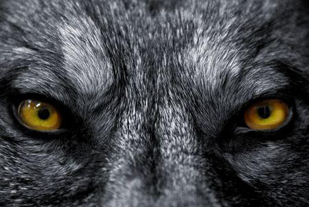 occhi grandi: occhi bei di un lupo selvaggio: mammifero pericoloso