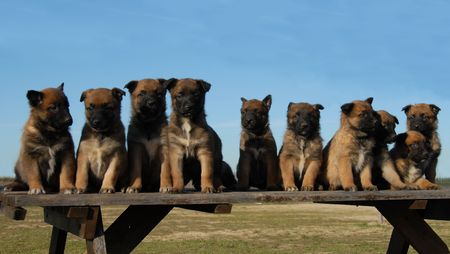 belgian: ten puppies purebred belgian shepherds malinois on a table