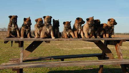 eleven: eleven puppies purebred belgian shepherds malinois on a table