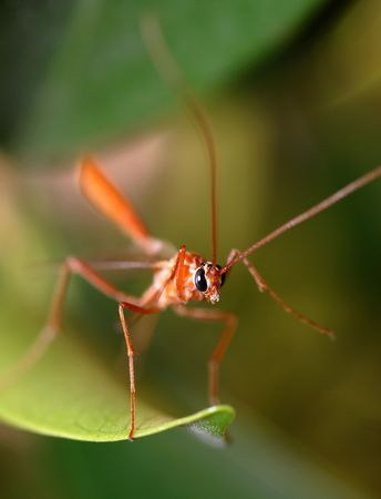 portrait of a tropical red mosquito on a green folliage Stock Photo - 2240824
