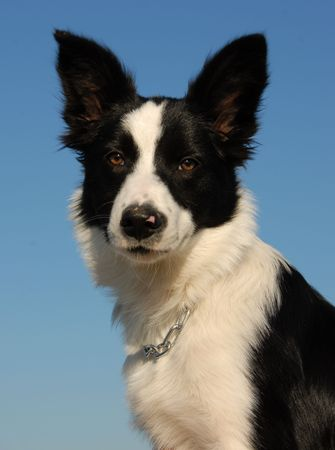 portrait of a young purebred border collie in blue sky photo