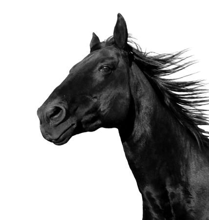 beautiful black stallion running in a corral: isolated on a white background Stock Photo