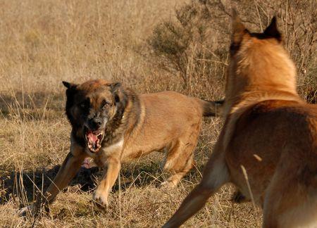 aggressiveness: two purebred belgian shepherds: aggressive dogs in a field
