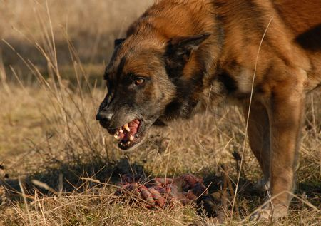 aggressive belgian shepherd want have his toy for only for him photo
