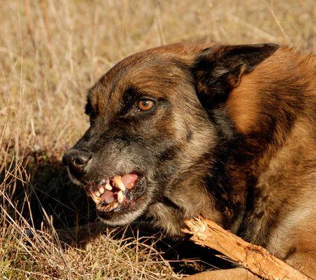 perro policia: agresiva raza pura de Pastor belga malinois en un campo Foto de archivo