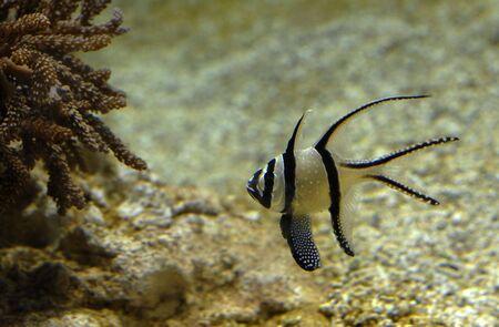 pterapogon kauderni, popular fish for the sea aquarium Stock Photo - 2400146