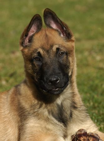 portrait of a purebred puppy belgian shepherd malinois photo