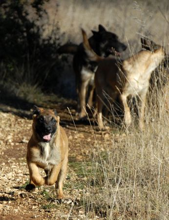 running puppy purebred belgian shepherd malinois with adults behind