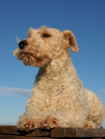 portrait of a purebred fox terrier laid down on a table Stock Photo - 2515633
