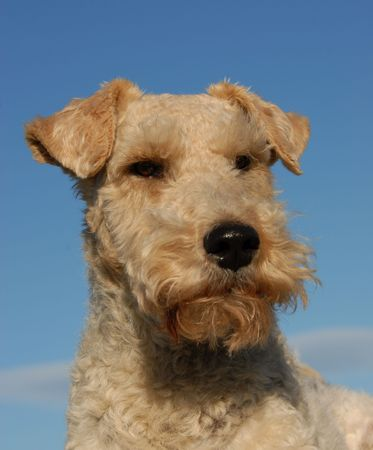 portrait of a purebred fox terrier in a blue sky Stock Photo - 2515632