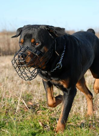purebred rottweiler and his muzzle in a field Stock Photo