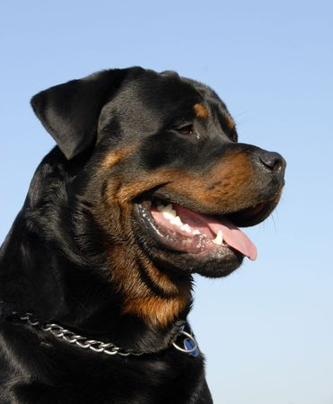 portrait of a beautiful purebred rottweiler: cute watching dog Stock Photo