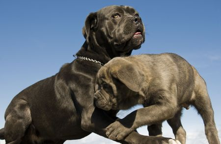 cane collars: purebred italian mastiff mother and puppy together