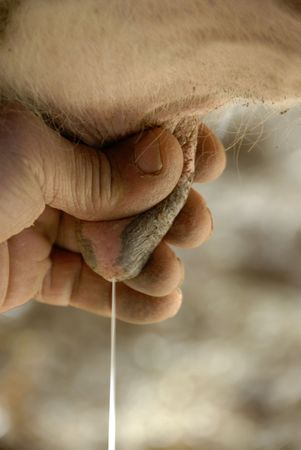 milkman: milkman milking a cow; close up on the udder