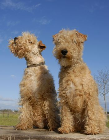 two purebred lakeland terrier on a table Stock Photo - 2738428
