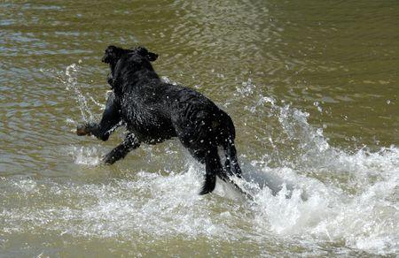 swimming  purebred french shepherd  photo