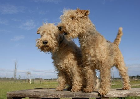two purebred lakeland terrier on a table Stock Photo
