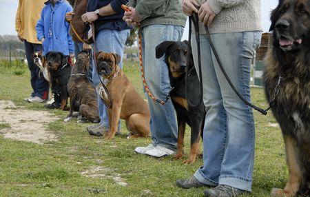 obedience: la formaci�n en un club de obediencia canina con perros de raza pura  Foto de archivo