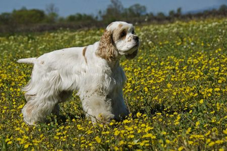 upright: purebred american cocker upright in a field with yellow flowers