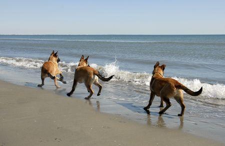 affraid: three puppies belgian shepherd malinois and the mediterranean sea