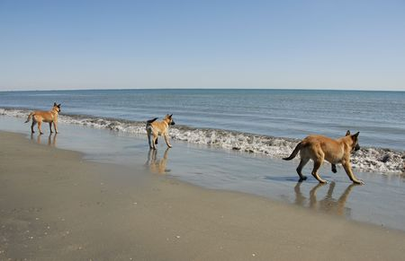 three puppies belgian shepherd malinois and the mediterranean sea
