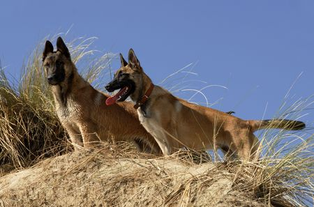 german ocean: portraits of two young purebred belgian shepherds malinois on the beach Stock Photo