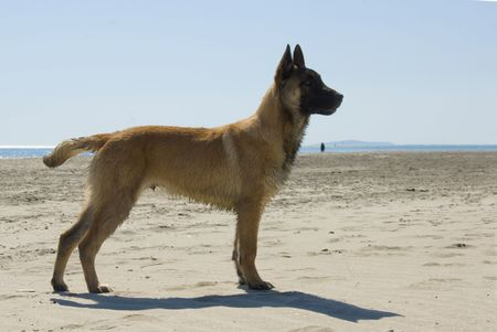portrait of a young purebred belgian shepherd malinois on the beach