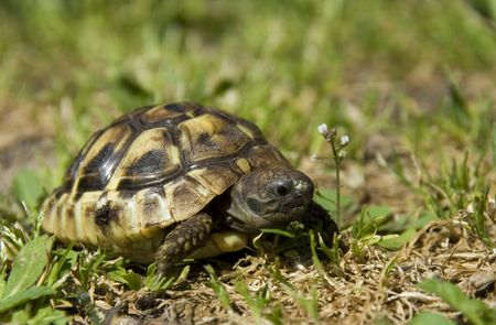 green turtle: beautiful little turtle herman in green grass