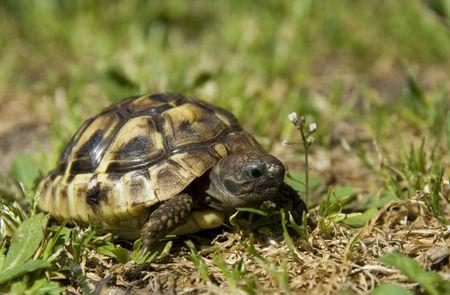 schildkr�te: sch�ne Little Turtle Herman im gr�nen Gras Lizenzfreie Bilder