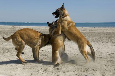 three young purebred belgian shepherd biting on the beach photo