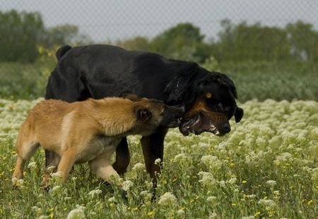 two dogs, a purebred rottweiler and a young belgian shepherd malinois biting photo