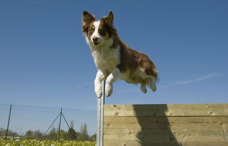 portrait of a purebred jumping australian shepherd in a blue sky Stock Photo