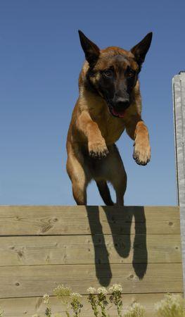 juping young purebred belgian shepherd malinois in agility Stock Photo - 2934727