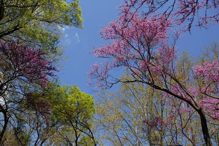 red bud tree in spring and other trees in blue sky photo