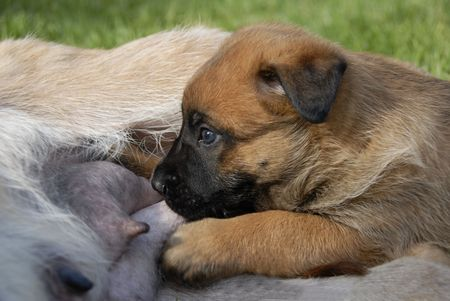 slurp: young purebred belgian shepherd malinois feeding to his mother Stock Photo