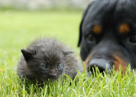 rottweiler: kitten and rottweiler, focus on the young cat