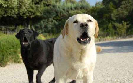 labrador teeth: two purebred labradors retrievers barking in a garden Stock Photo