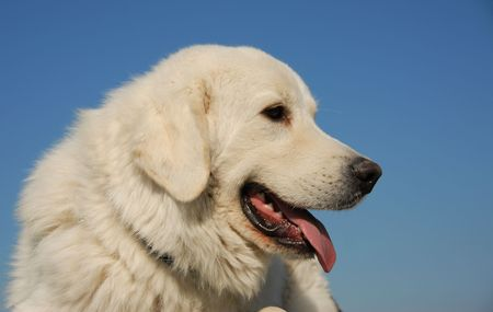 pyrenean mountain dog: portrait of a beautiful purebred podhal shepherd in a blue sky