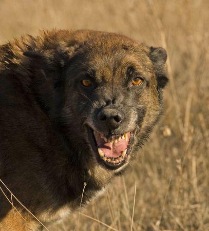 perro furioso: perro peligroso Foto de archivo