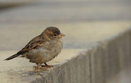 domesticus: little sparrow (passer domesticus domesticus) in Paris.  Stock Photo