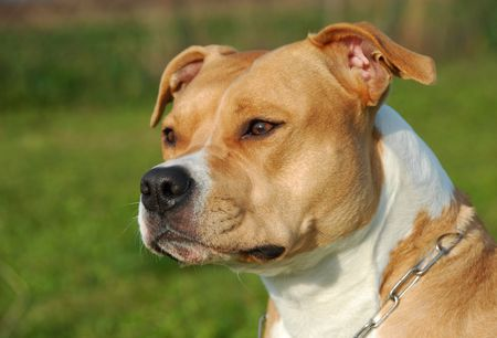 terriers: portrait of a beautiful female purebred American Staffordshire Terrier