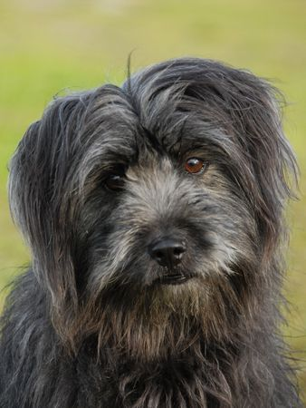 pyrenean: portrait of a pyrenean sheepdog. focus on the eyes Stock Photo